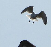 Gull Flies Toward. by jams