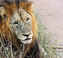 Resting male lion by jozi1