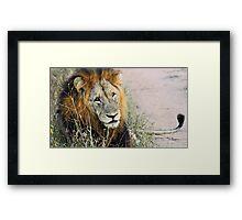 Resting male lion Framed Print
