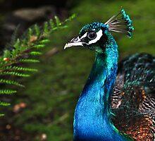 Peacocks of Launceston 2 by prasitmankad