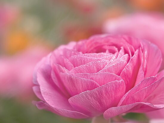 morning in the ranunculus garden by Celeste Mookherjee