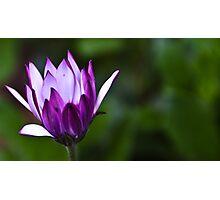 Purple Daisy Photographic Print