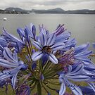 Late Agapanthus by amgmcpherson