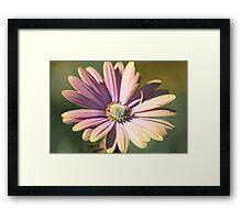 Lavender Daisy Framed Print