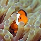 Tropical fish Clownfish by MotHaiBaPhoto Dmitry &amp; Olga