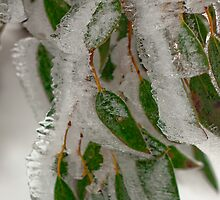 Icy Gumleaves by ImagesbyDi