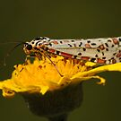 Heliotrope Moth  by Edge-of-dreams