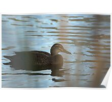 Duck paddles on silvery water Poster