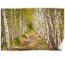 Spring Birch in Acadia Poster