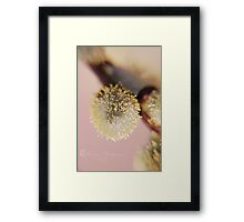Willow Catkin Framed Print