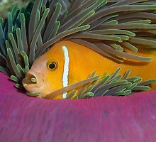 I like my anemone by Gorden