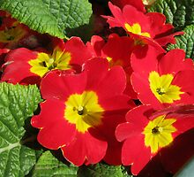 Sunlit Scarlet Primroses - A Welcoming Sight by BlueMoonRose