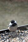 Black Capped Chickadee by goddarb