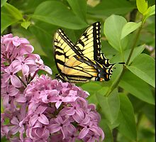 TIGER  SWALLOWTAIL  ON  LILAC . . .  by TennesseGirl