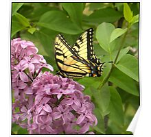 TIGER  SWALLOWTAIL  ON  LILAC . . .  Poster