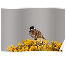 Male Reed Bunting Poster