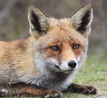 Red Fox - 1956 by DutchLumix