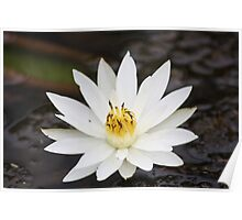 Water Lilly - Bushveld Poster