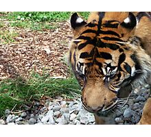 Tiger One- Dublin Zoo Photographic Print