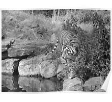 Tiger Two- Dublin Zoo Poster