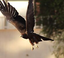 African Kite by Karue