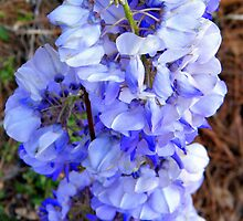 Wisteria Blooms 2 by WeeZie