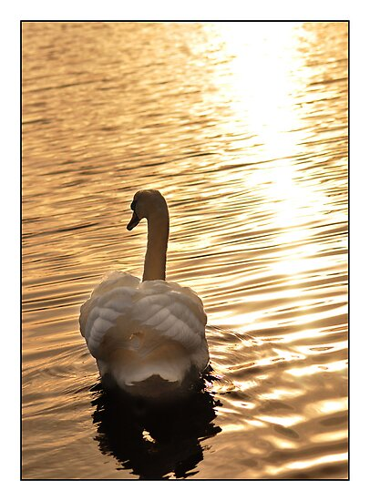 Loch Kinord Swan, a Scottish Evening by Suzanne Edge