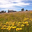 Paper Daisies. Victorian High Country. by ImagesbyDi