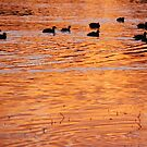 Orange a L Duck by Graham Mewburn