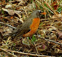 A Nicely Camouflaged Female Robin by Robert Miesner
