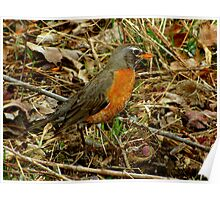 A Nicely Camouflaged Female Robin Poster