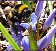 First Bumble Bee of Spring by HELUA