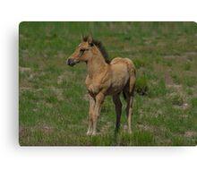 Beautiful Foal  Canvas Print