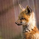 Fox Kit Portrait II by Jay Ryser