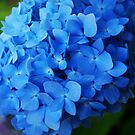 """Endless Summer"" Hydrangea by Marjorie Wallace"