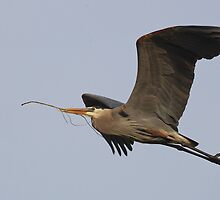 GBH in Flight by kurtbowmanphoto