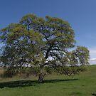 Lone Oak by Patty Boyte