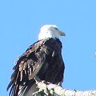 Bald Eagle by Sheri Scherbarth