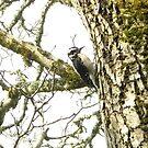 A Downy Woodpecker by Sheri Scherbarth