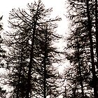 Silhouette Trees by sprucedimages