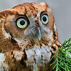 Startled Screech Owl by Ron Deage