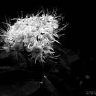 White Tendrils by rocamiadesign