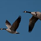 Candian Geese Pair #057 by Rodney55