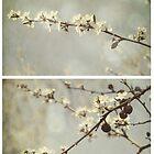 Spring - Hawthorn by Sybille Sterk