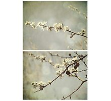 Spring - Hawthorn Photographic Print
