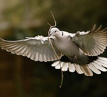 Nesting Collared Dove by Nigel Tinlin