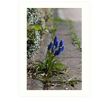 Grape hyacinths on the sidewalk Art Print