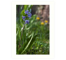 blue hyacinth Art Print