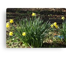 Barbara's Daffodils Canvas Print