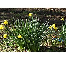 Barbara's Daffodils Photographic Print
